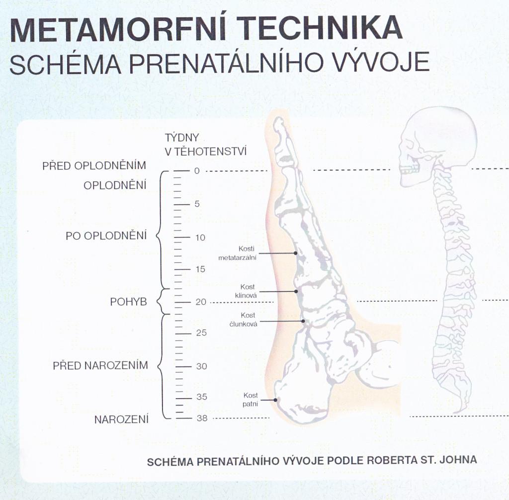 MT - schéma prenatálního vývoje